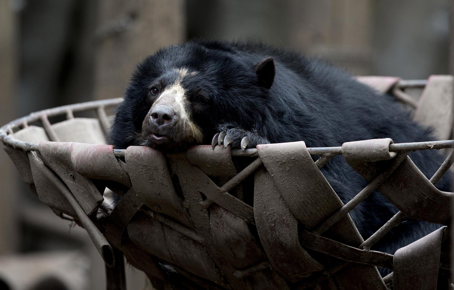 Un oso de anteojos descansa sobre una cesta.Los expertos llegaron a la conclusión de que un año después las condiciones para los animales prácticamente siguen siendo las mismas