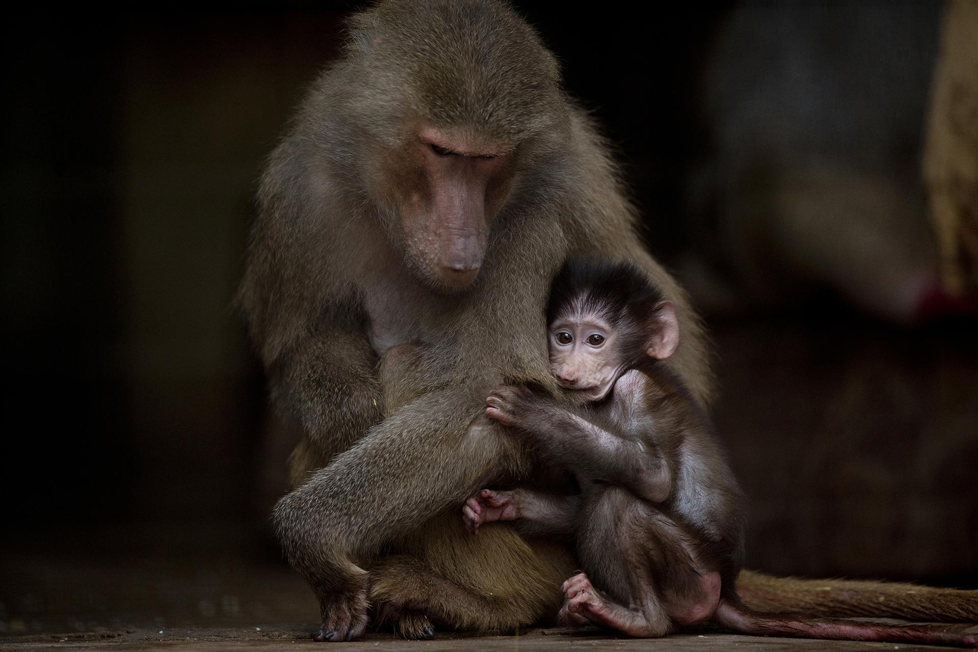 Un joven babuino salta sobre su madre