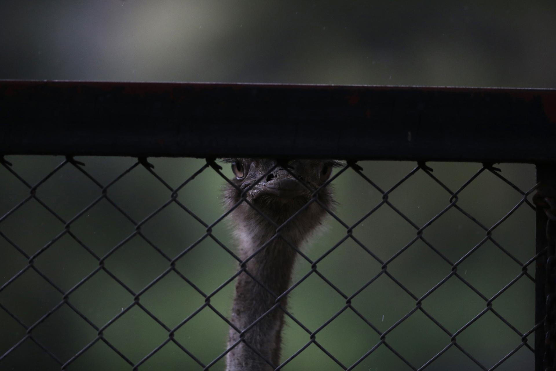 Un avestruz mira a través de la trama abierta de una valla de tela metálica
