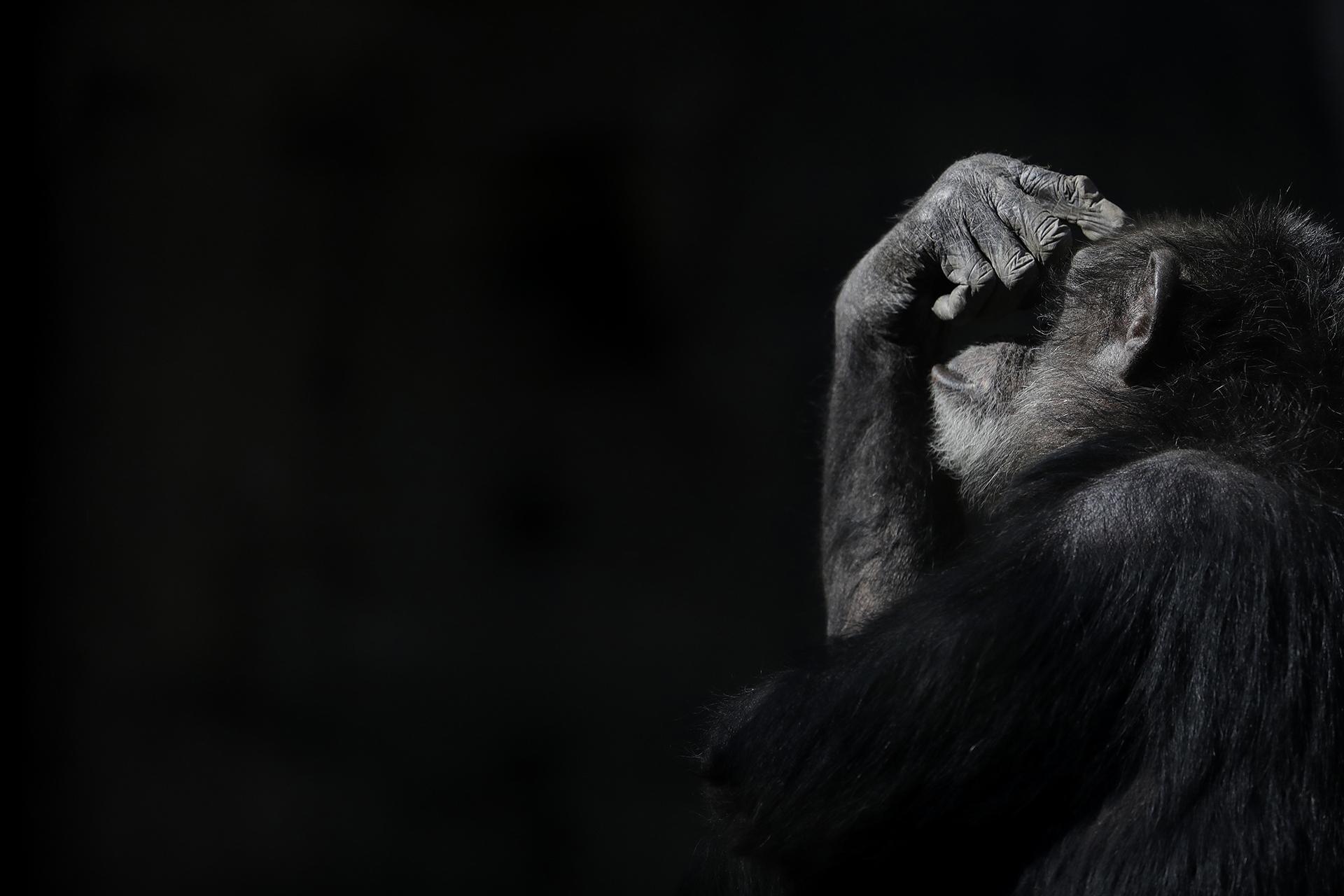 Un chimpancé con la mano en los ojos