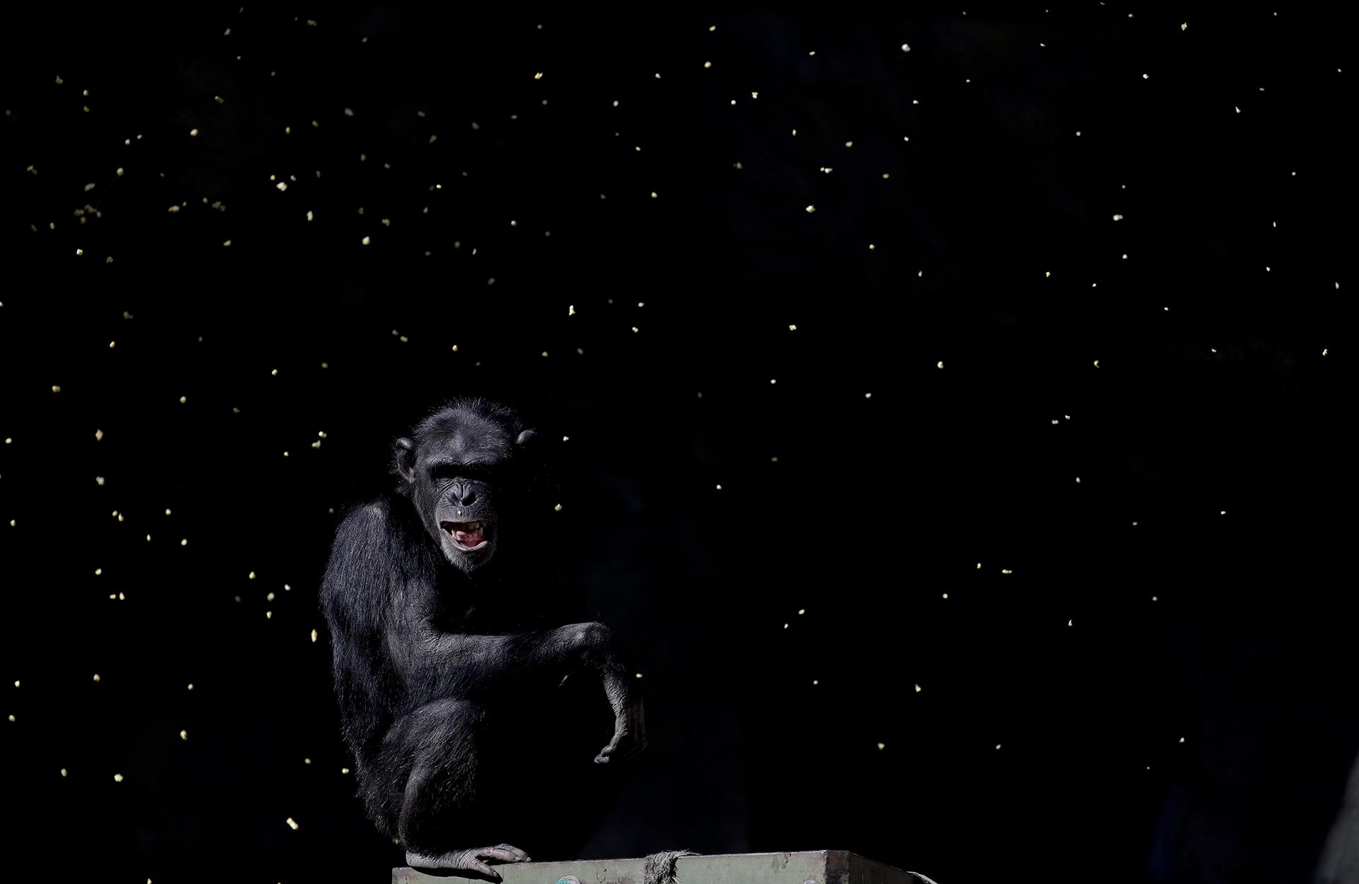 Un chimpancé observa aun trabajador lanzar puñados de grano en sujaula