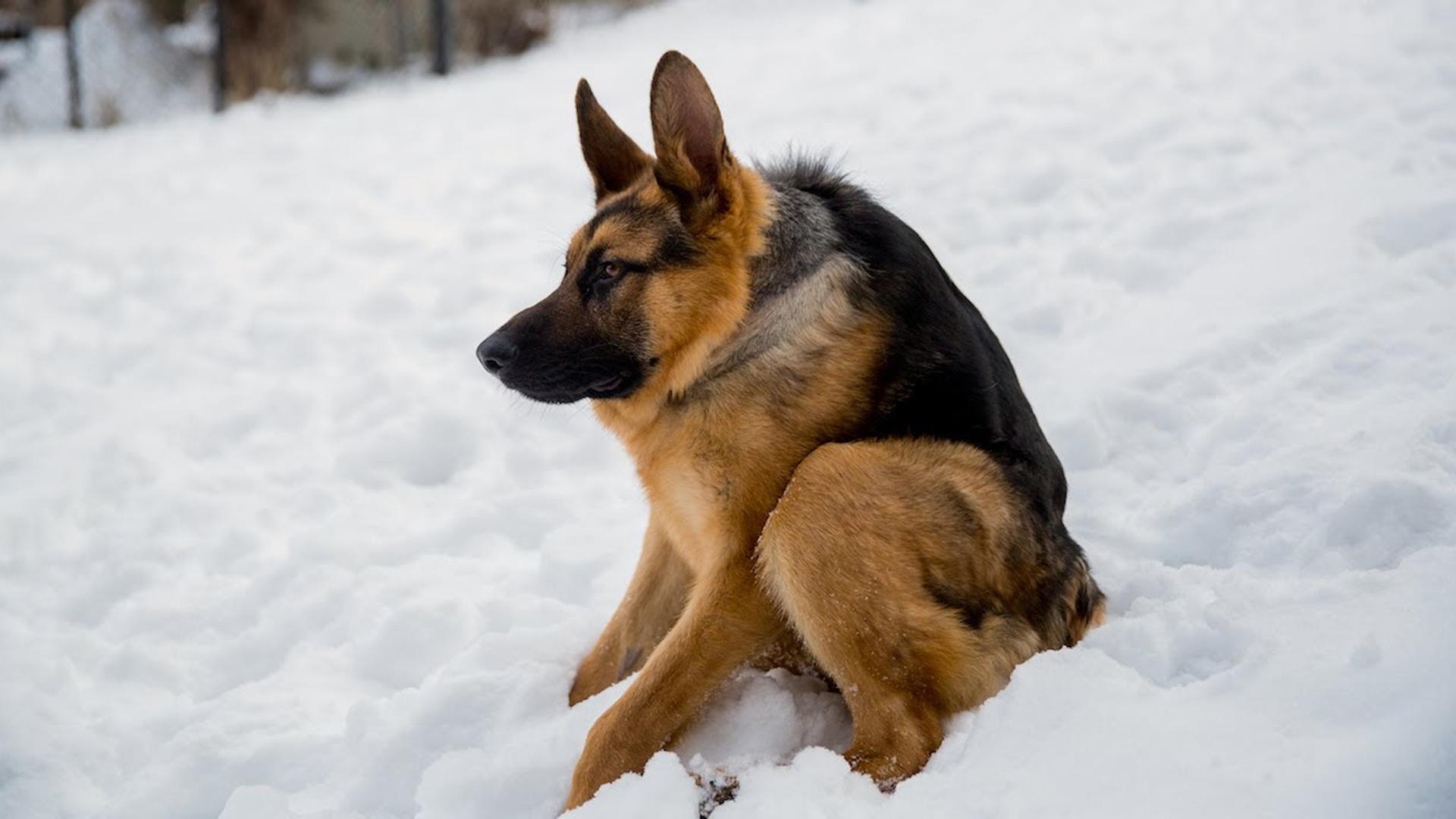 Quasimodo es conocido en las redes por su rara patología que solo comparte con otros 13 perros en el mundo (Facebook Quasi The Great)