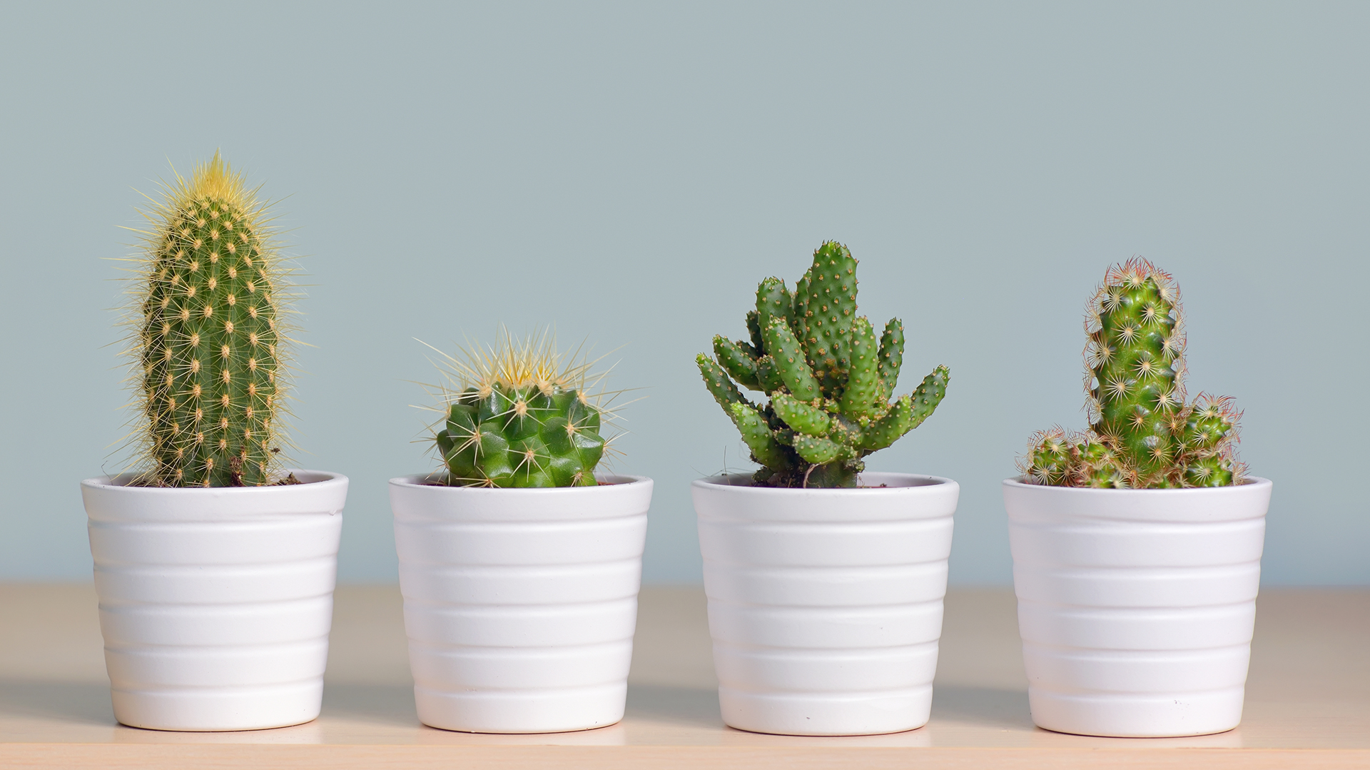 Las suculentas son más frágiles que los cactus (istock)