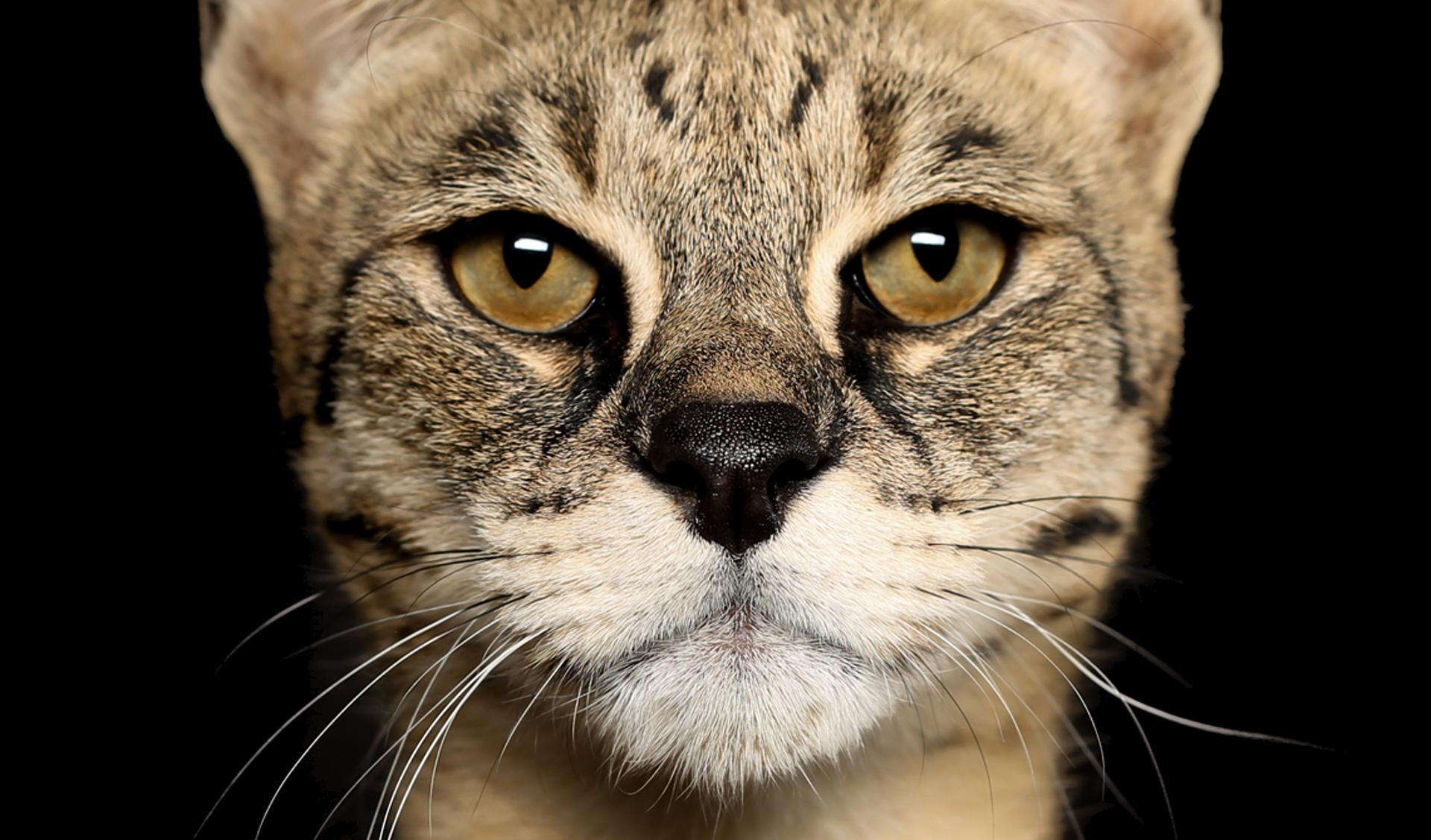el precio del gato Savannah es bastante costoso, y oscila entre 3000 dólares y 7.000 dólares