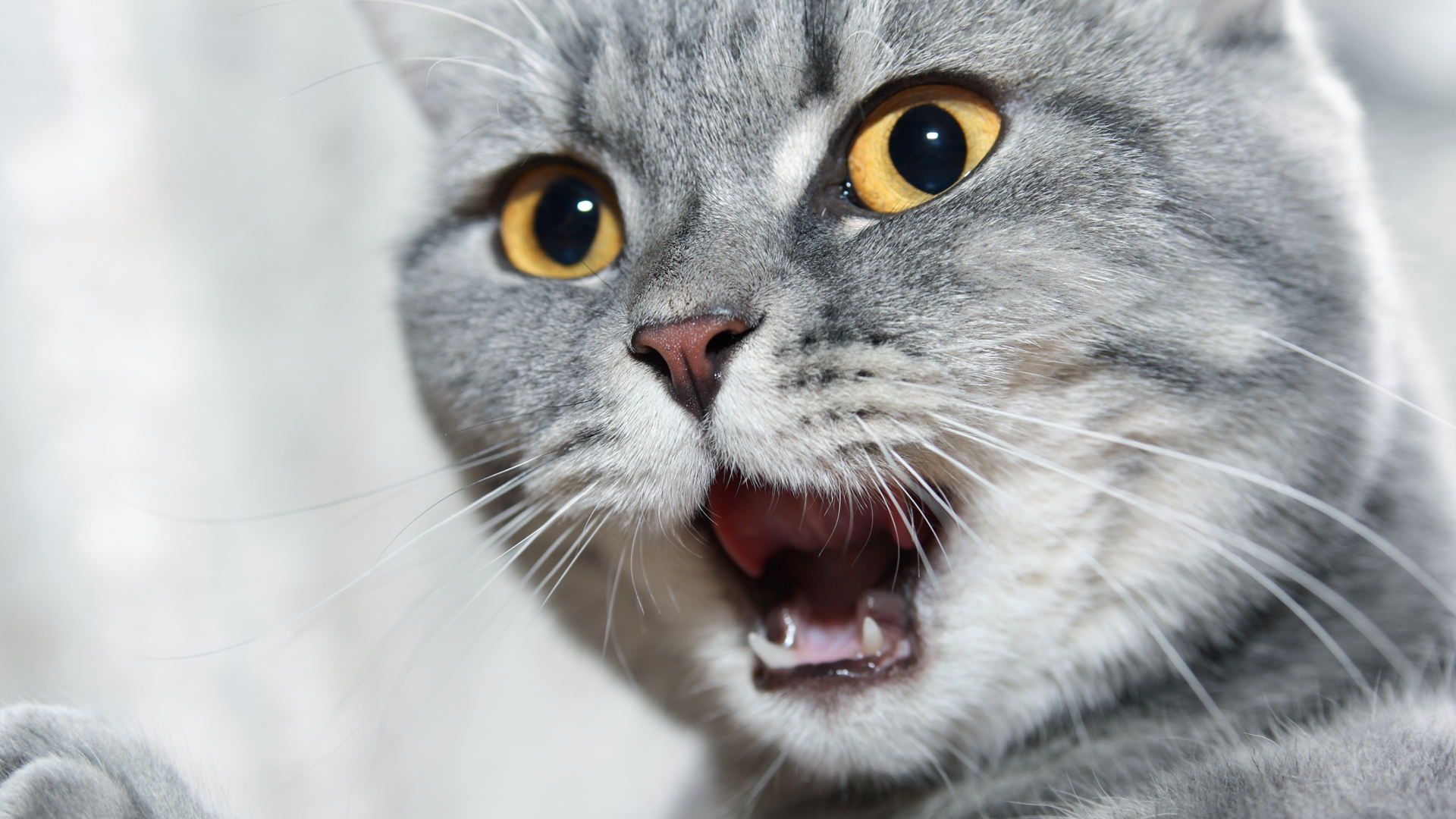 Una cola de gato contiene de 18 a 23 vértebras caudales, o vértebras de la cola, dependiendo de la raza y el gato individual, y es su medio de expresión (iStock)