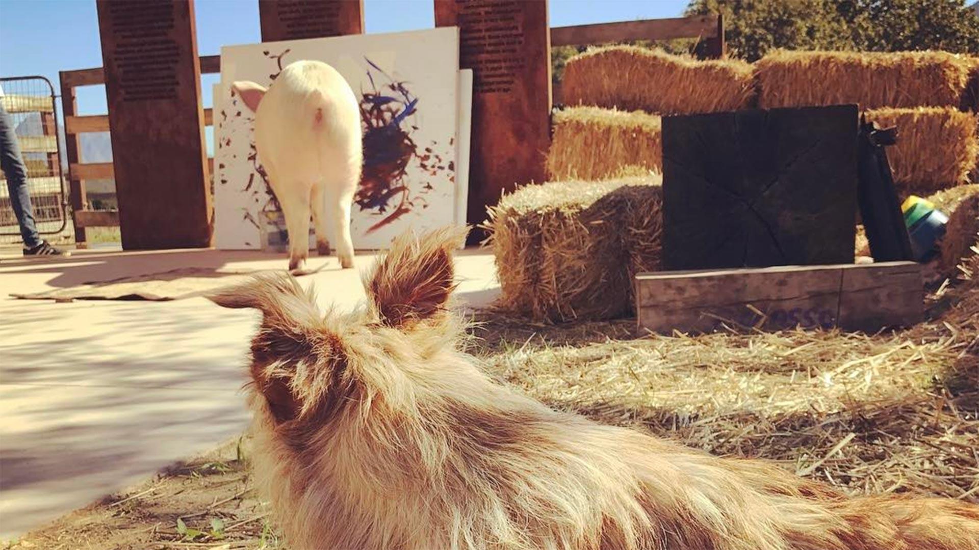 En su granja pasa la mayor parte del día pintando, sus amigos del reino animal no dejan de deleitarse con su arte ((Instagram Pigcasso))