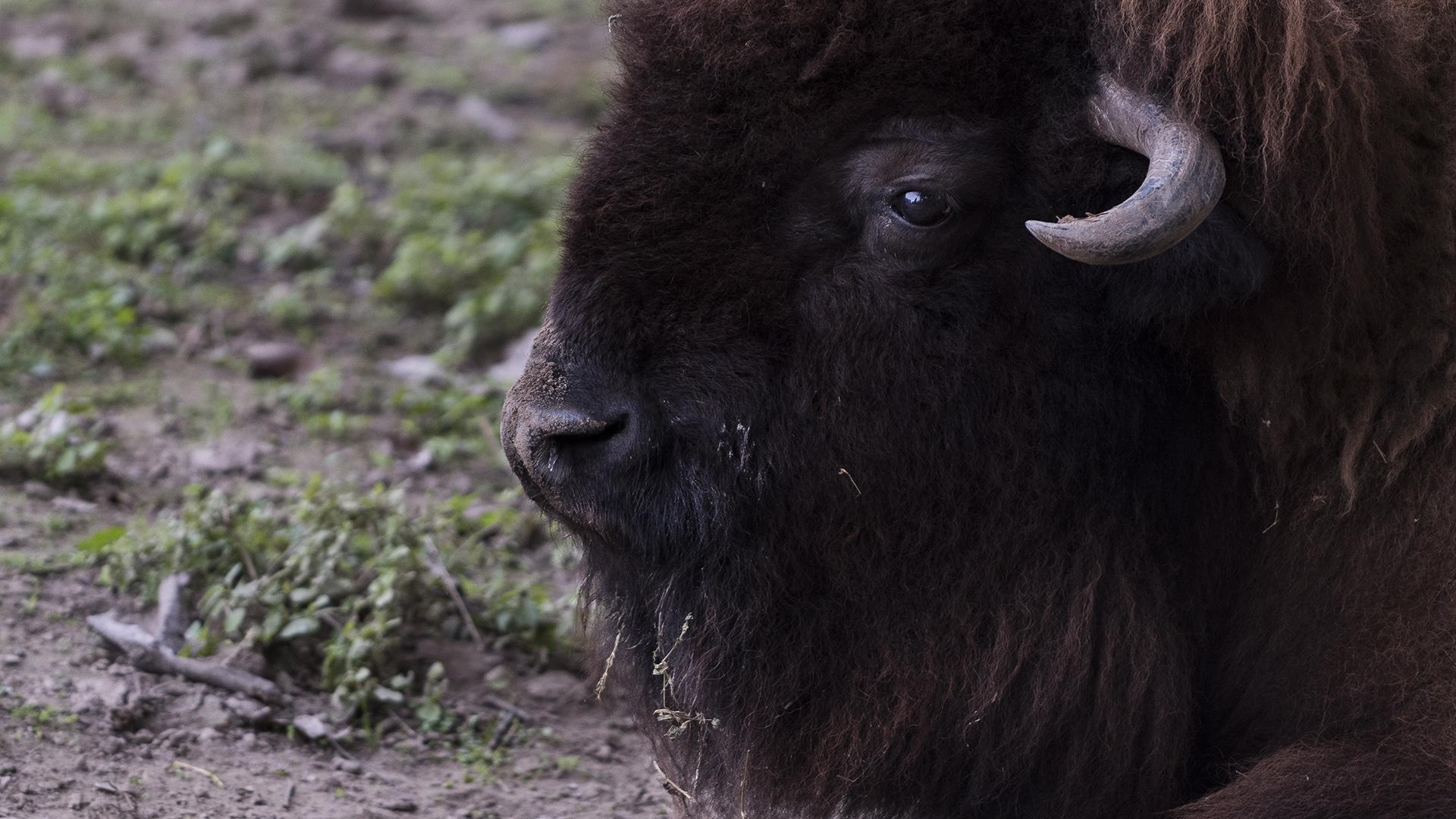 Uno de los búfalos que permanecen en el predio del ex Zoo porteño. (Adrián Escandar)
