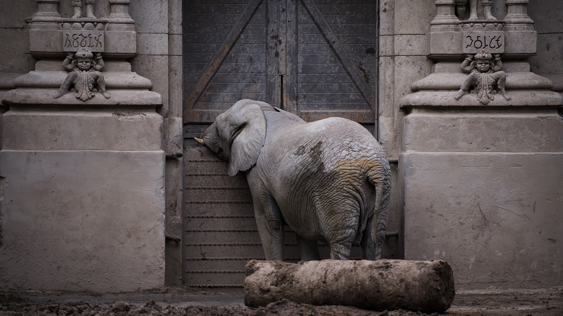 Esperando el turno de cambiar de espacio. Tres elefantas habitan el mismo lugar, pero no lo comparten. (Adrián Escandar)