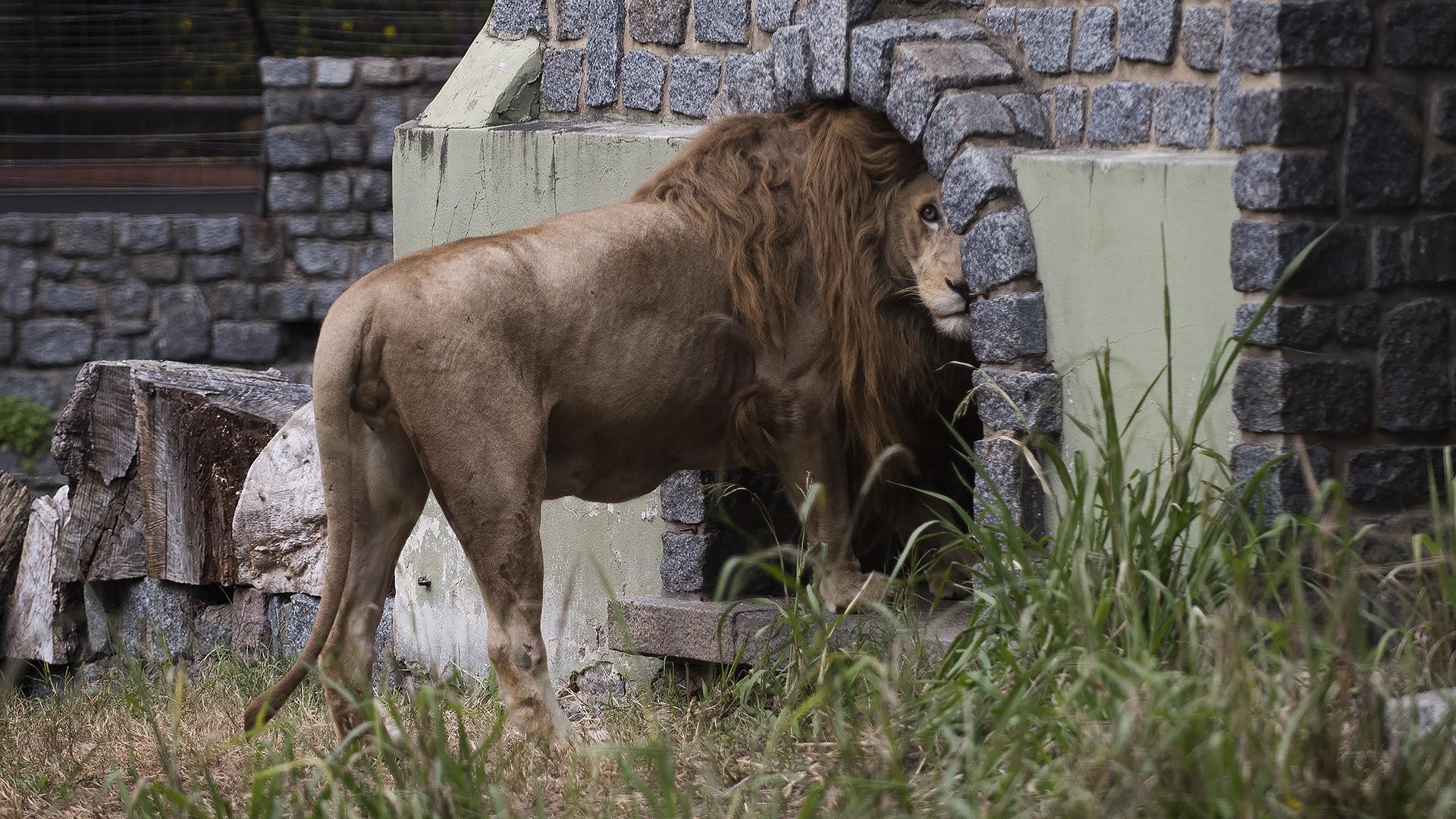 Los proteccionistas piden que los felinos grandes sean trasladados a reservas de África. (Adrián Escandar)