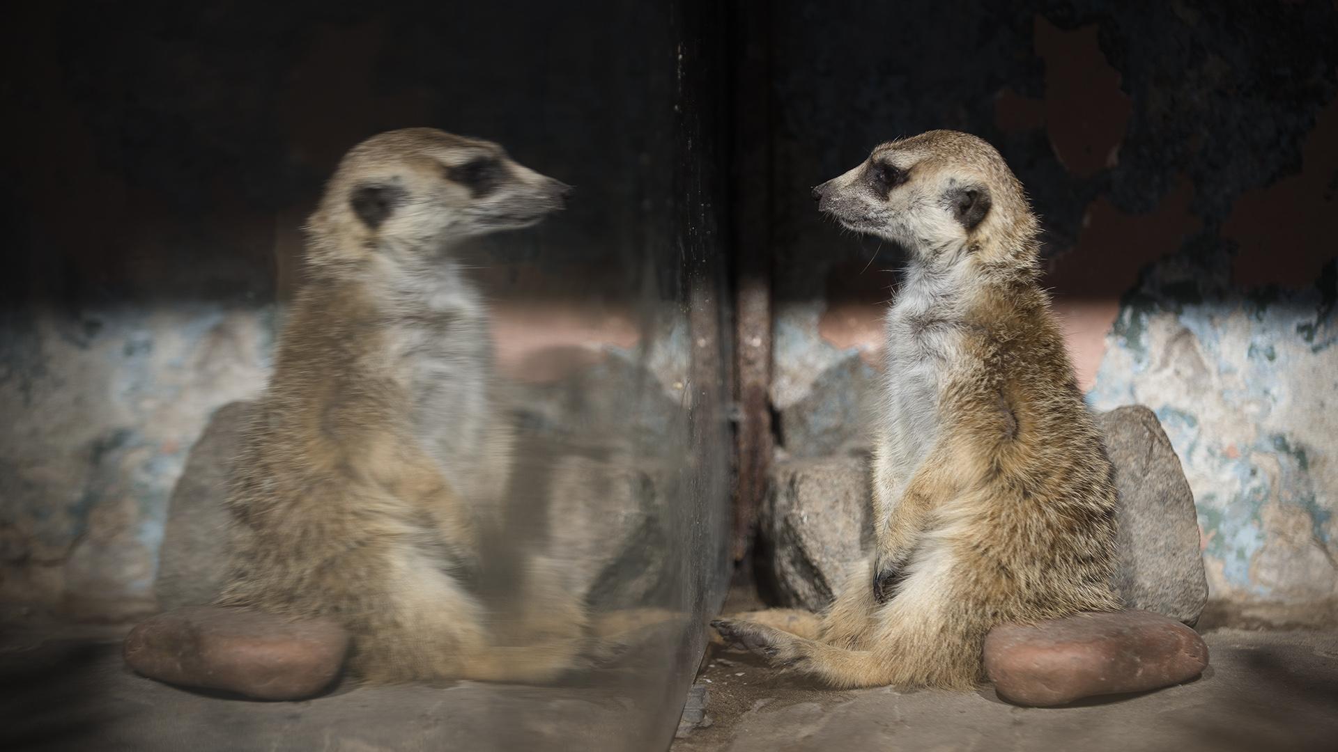 Un suricata mira su propia imagen en un recinto que habita en el Ecoparque. (Adrián Escandar)