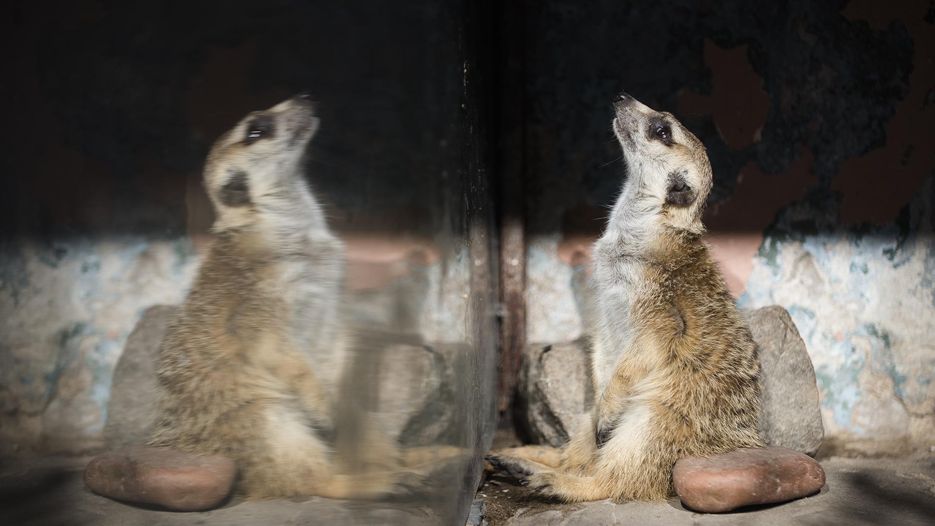 Uno de los suricatas que viven en el zoológico porteño. (Adrián Escandar)