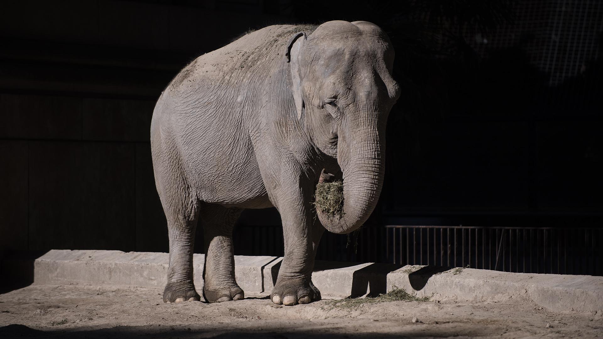Mara es una de las tres elefantas que vive en el zoo, pero no convive con las otras dos. En los 90´s fue confiscada del ex circo Rodas donde vivió terribles malos tratos (Adrián Escandar)