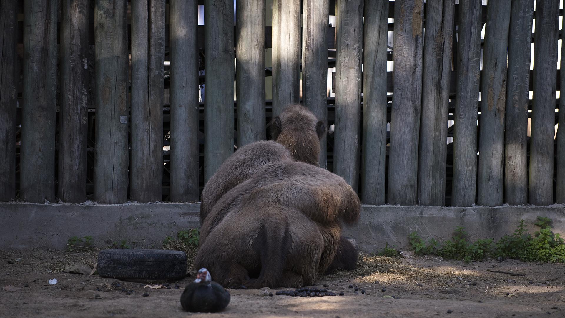 Los cuidadores aseguran que la joroba caída al costado demuestra buena salud en los camellos. (Adrián Escandar)