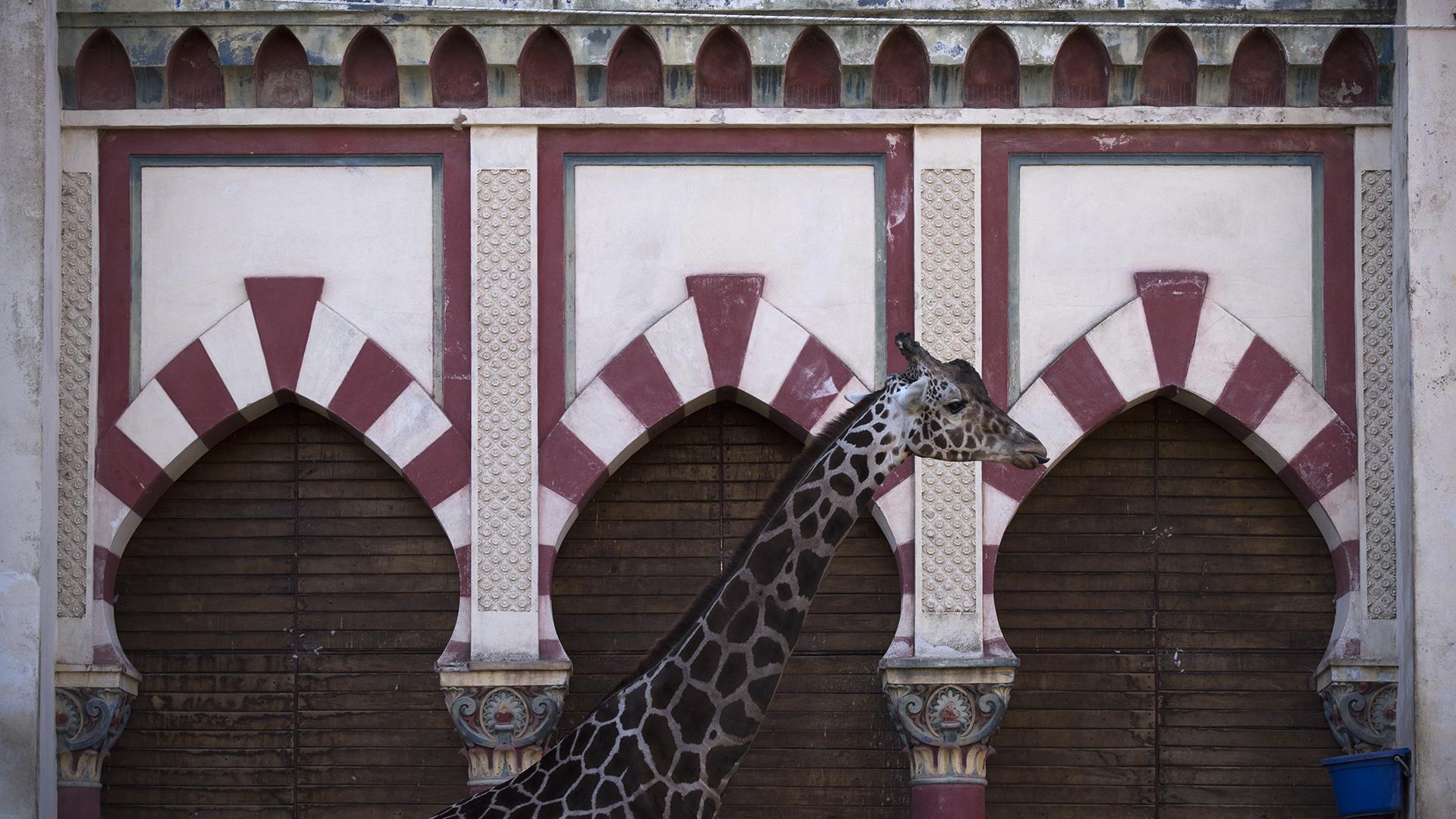 Hasta el momento se sostiene que las tres jirafas no serán trasladadas debido a su tamaño. (Adrián Escandar)