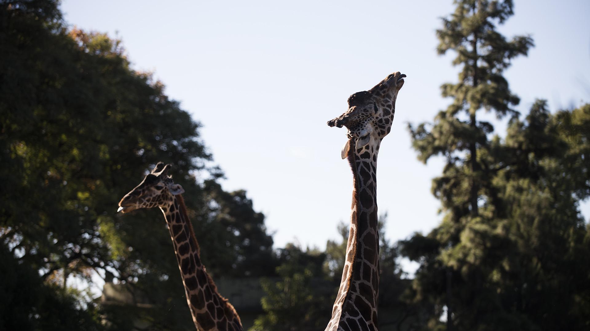 Debido a su tamaño, desde GCBA, no ven posibilidad de trasladar a las jirafas. (Adrián Escandar)