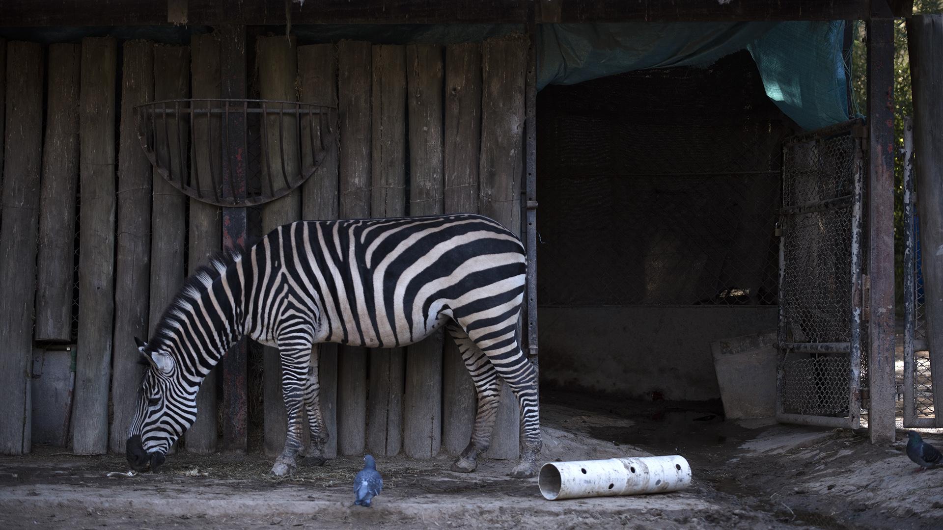 Cebra macho. Vive solo, pero trabó amistad con una de las jirafas vecinas. (Adrián Escandar)