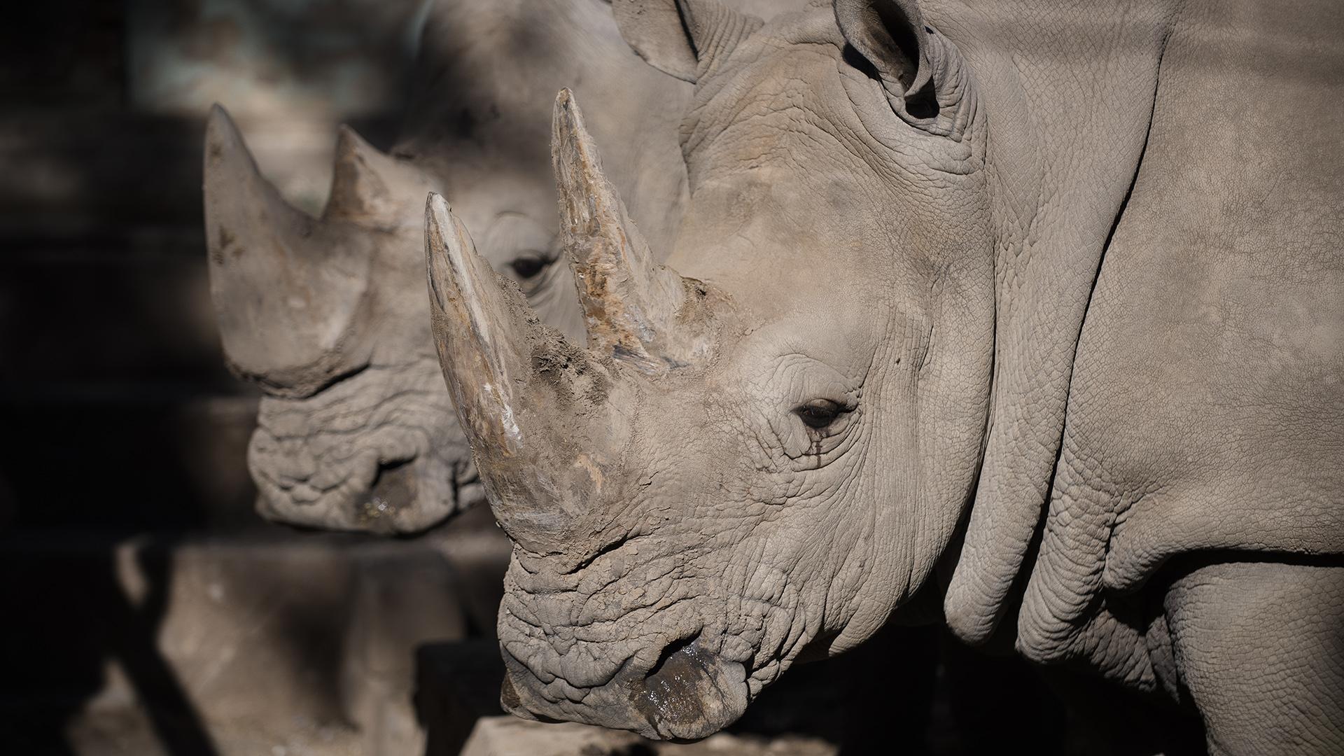 Rinocerontes en el Ecoparque de la Ciudad. (Adrián Escandar)