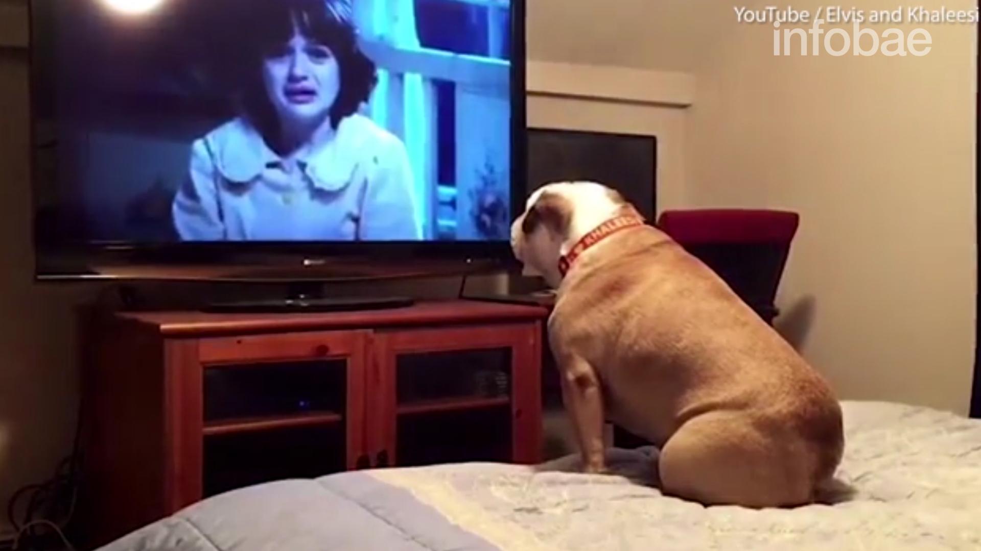 El video viral de Khaleesi, una bulldog inglesade Estado Unidos que cree que los actores pueden escuchar sus ladridos de alerta