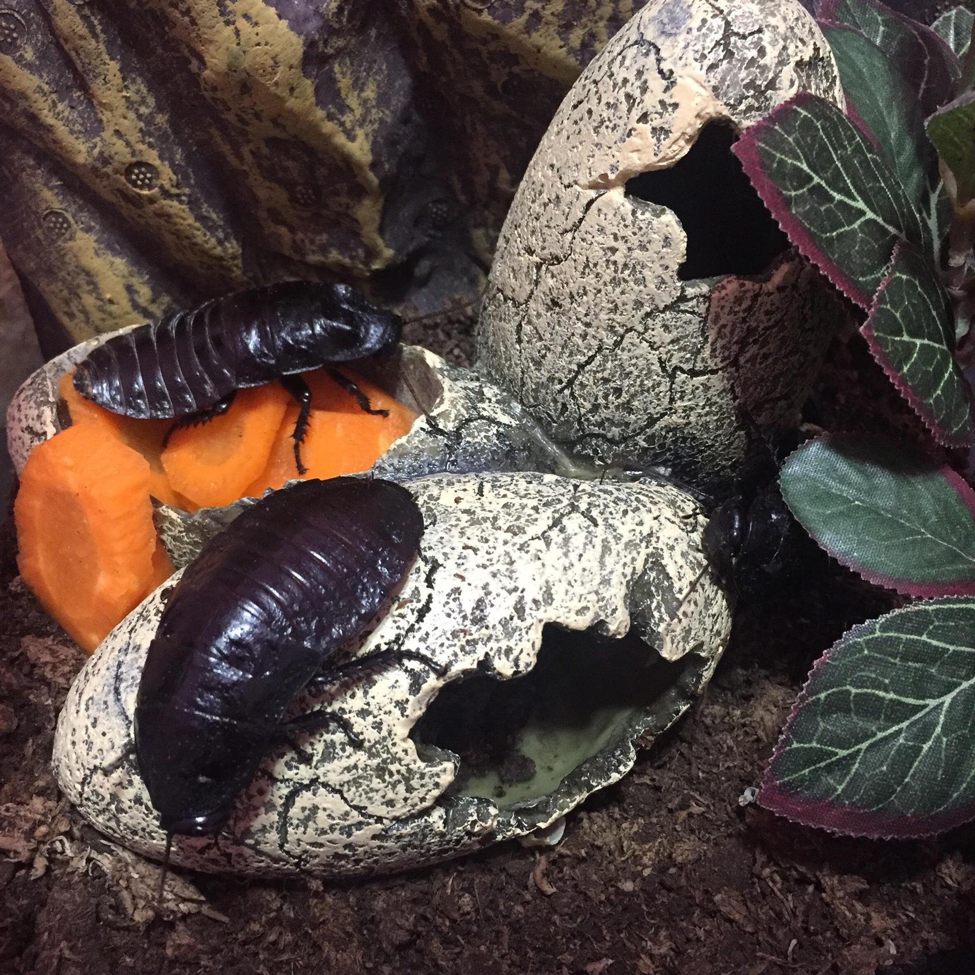 Son de clima tropical por lo que necesitan una temperatura mínima de 25 grados para poder reproducirse. Estas mascotas viven en un pecera de de 60×40 con turba, hojas secas, cuevas y plantas artificiales