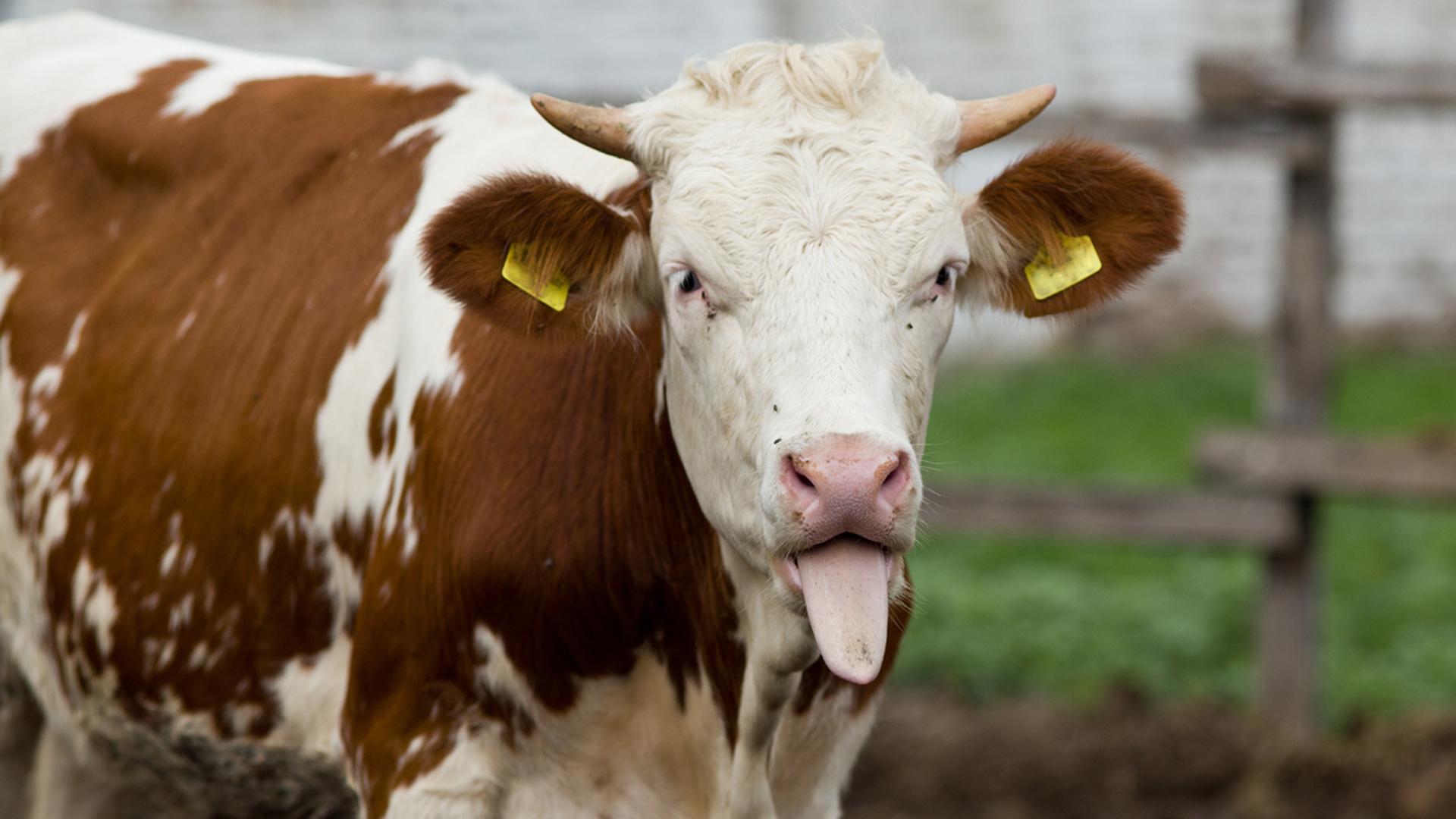 Las vacas marrones o con manchas marrones, responsables de la leche chocolatada para el 7% de los estadounidenses