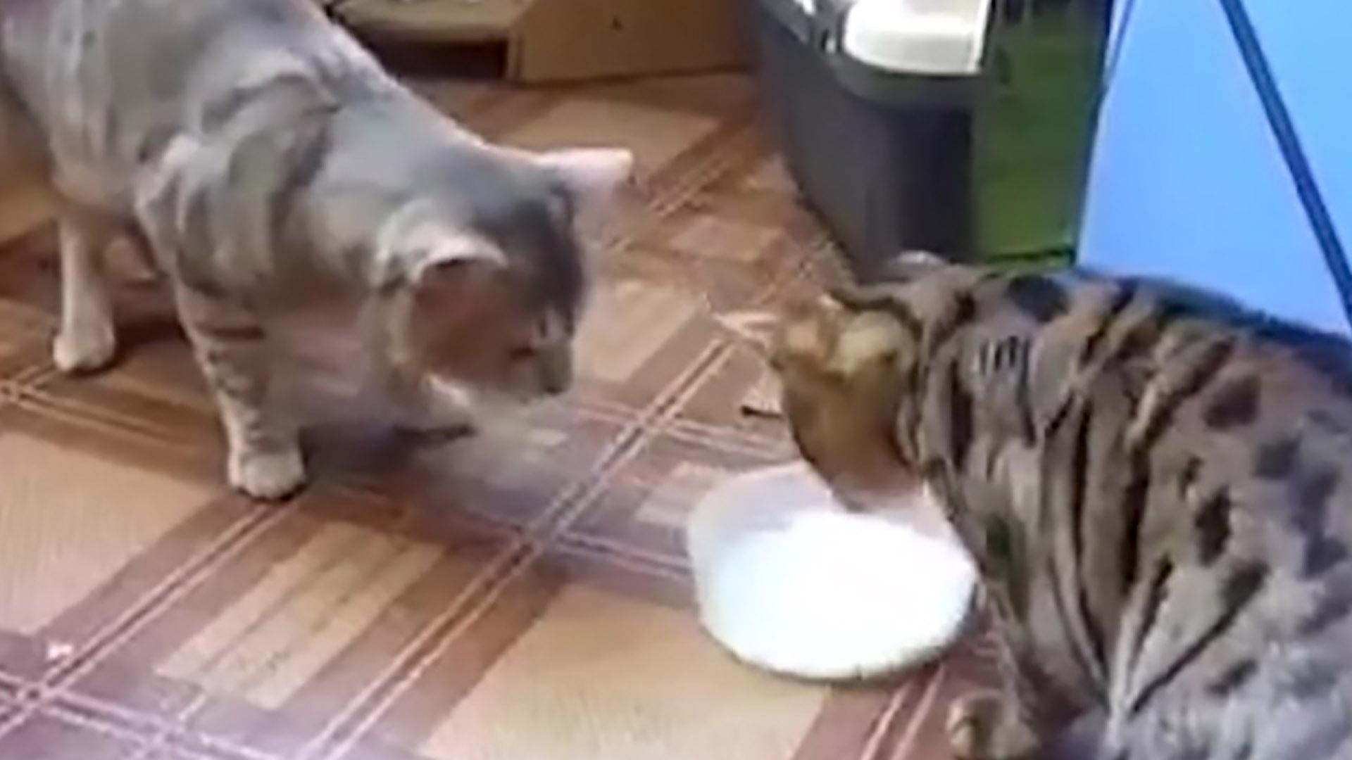 El video muestra la divertida escena de dos gatos disputándose por el delicioso tazón de leche