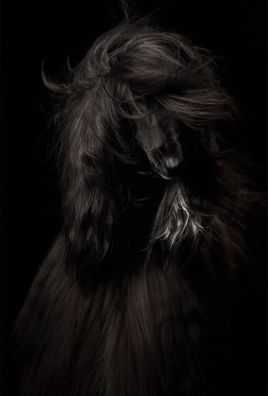 """Categoría: """"Retrato"""". La perra de raza afgana Sisley fue calificada por la autora de la foto, la rusa Anastasia Vetkovskaya, como """"muy expresiva y emocional"""""""