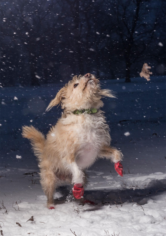 """Categoría: """"Amo a los perros porque…"""". Pippin, una mezcla de terrier adoptada en 2010, juega en la nieve y fue captada por Julian Gottfired, de 15 años, en Chicago"""
