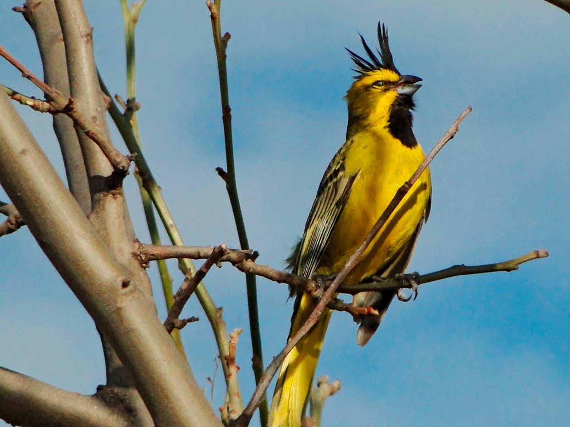 Se trata de una especie sumamente territorial y parte de sus cifras de extinción radican en la destrucción de su hábitat