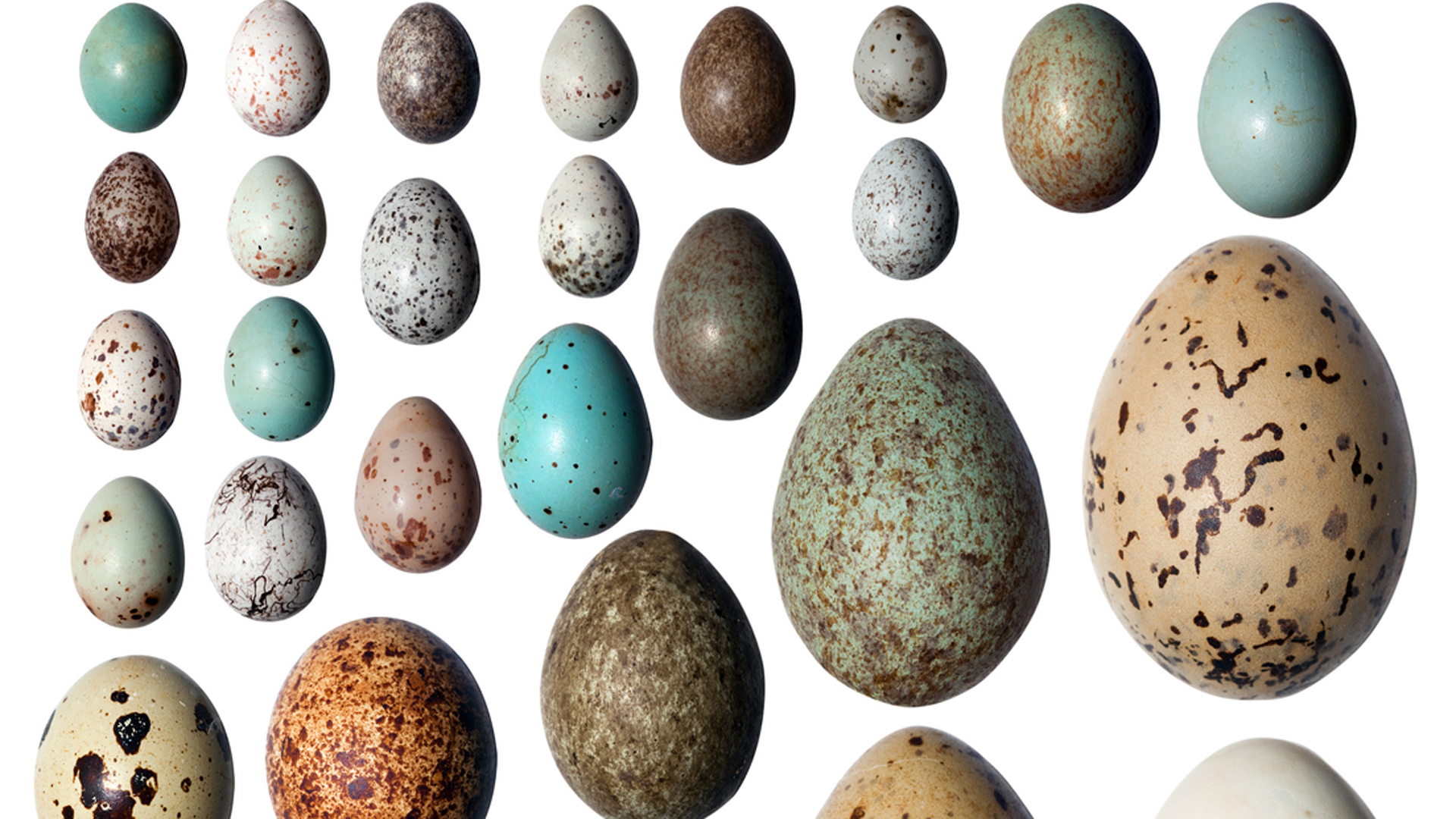 Finalmente, se supo la razón de la forma de los huevos (Istock)
