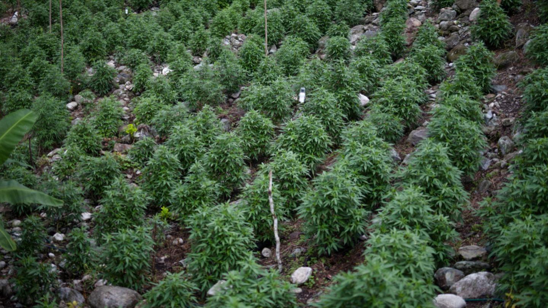 Campo sembrado de cannabis (Gabriel Herrera)