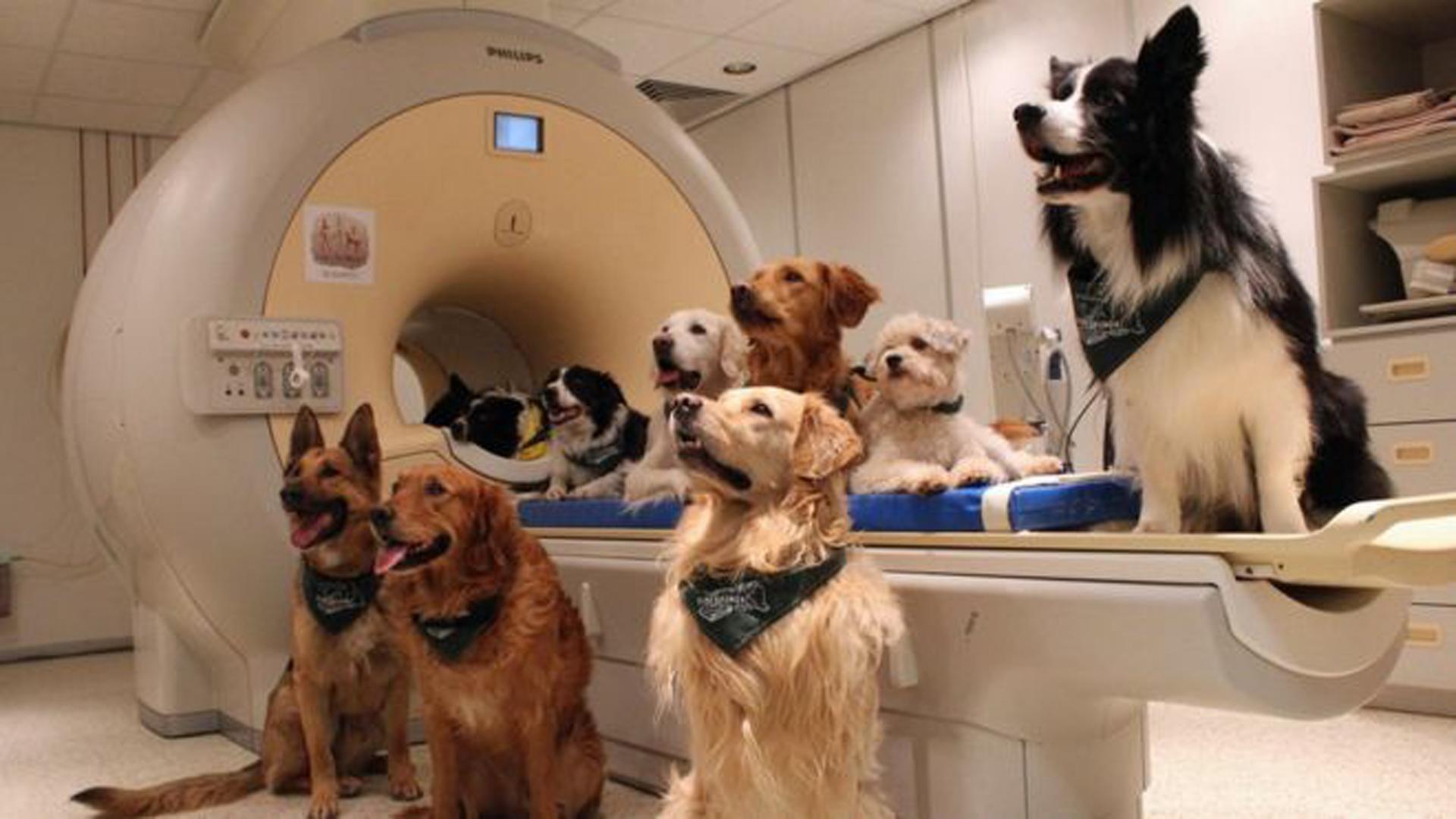 Los perros del estudio fueron sometidos a resonancia magnética para poder analizar su actividad neuronal lingüística (Erin Kubinyi / Universidad Eötvös Loránd)