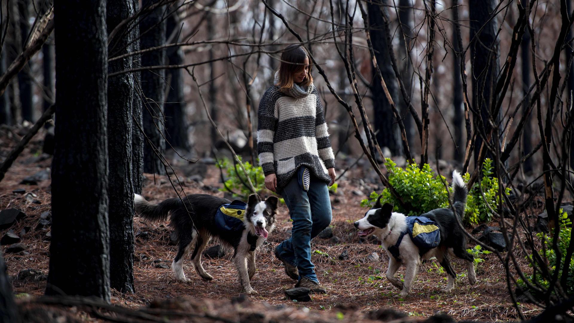 En enero, la Región del Maule fue arrasada por un incendio. Hoy la esperanza de resurgimiento renace con la tarea de tres perros (Martin Bernetti/AFP)