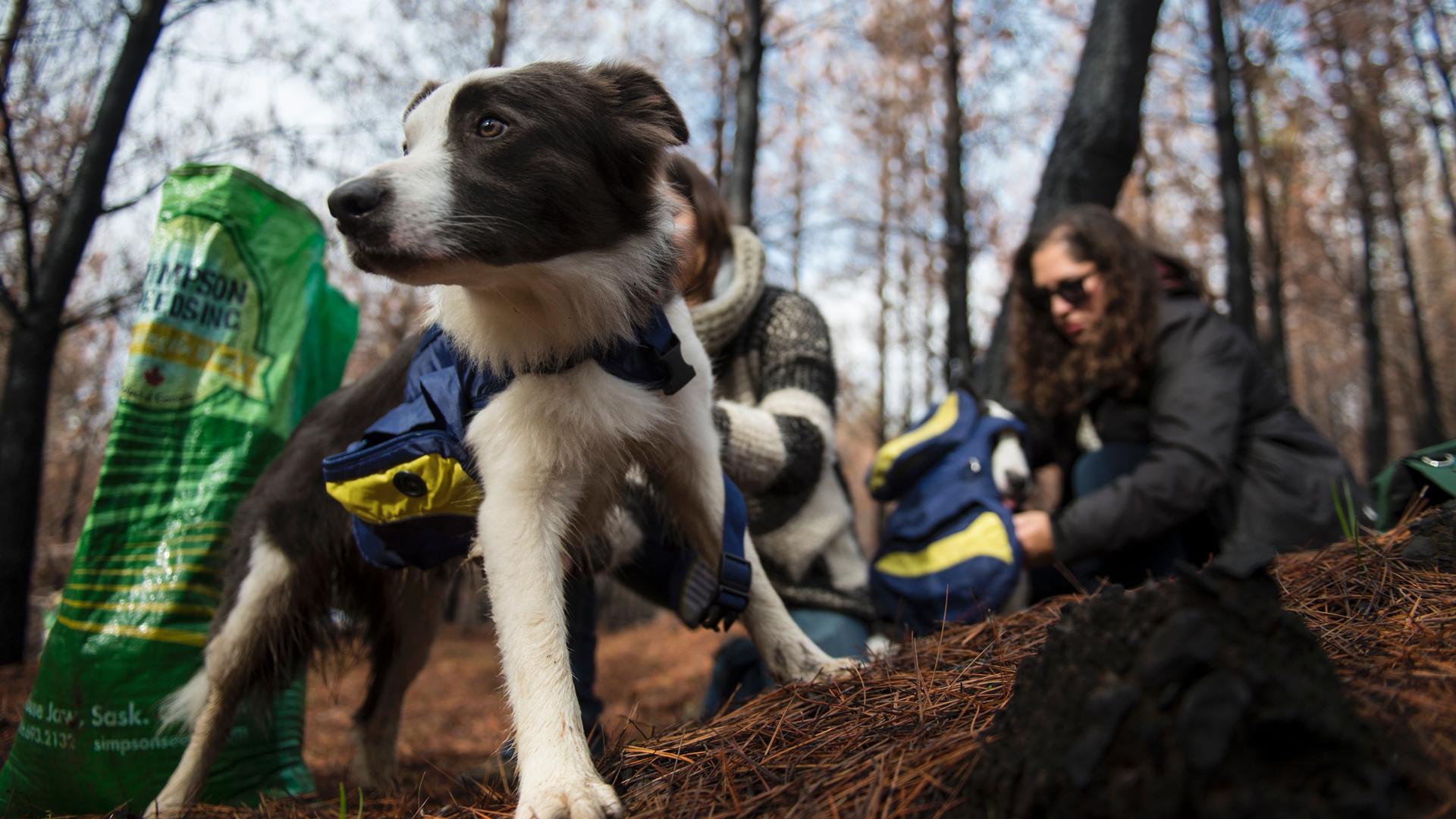 Son tres perros raza border collie: Das, la madre de seis años, y sus cachorros de un año Olivia y Summer (Martin Bernetti/AFP)
