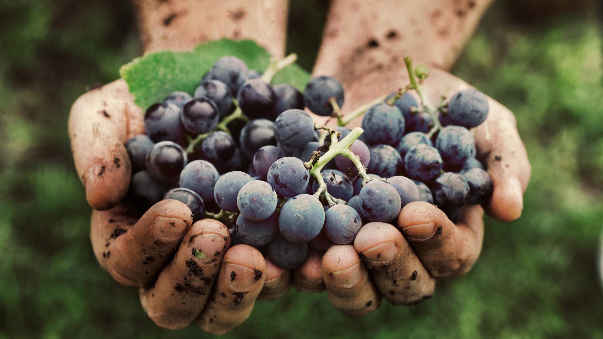 Vinos orgánicos: la propuesta que busca ayudar al medio ambiente ...