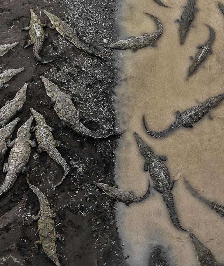 Naturaleza – Tercer lugar. Cocodrilos se reúnen en la costa del río Tarcoles en Costa Rica. Por Tarun Sinha