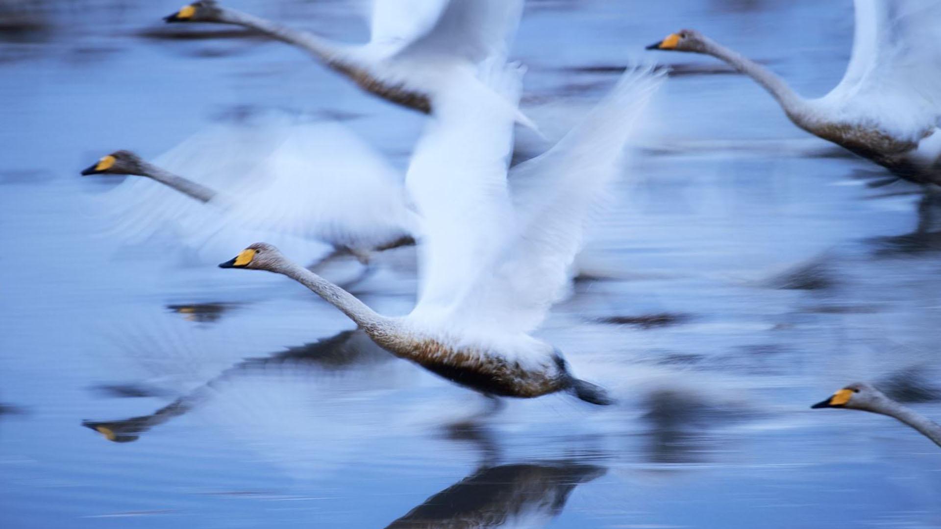Naturaleza – Segundo lugar. Cisnes se trasladan sobre el agua en una zona protegida de Osaki, Japón. Por Hiromi Kano