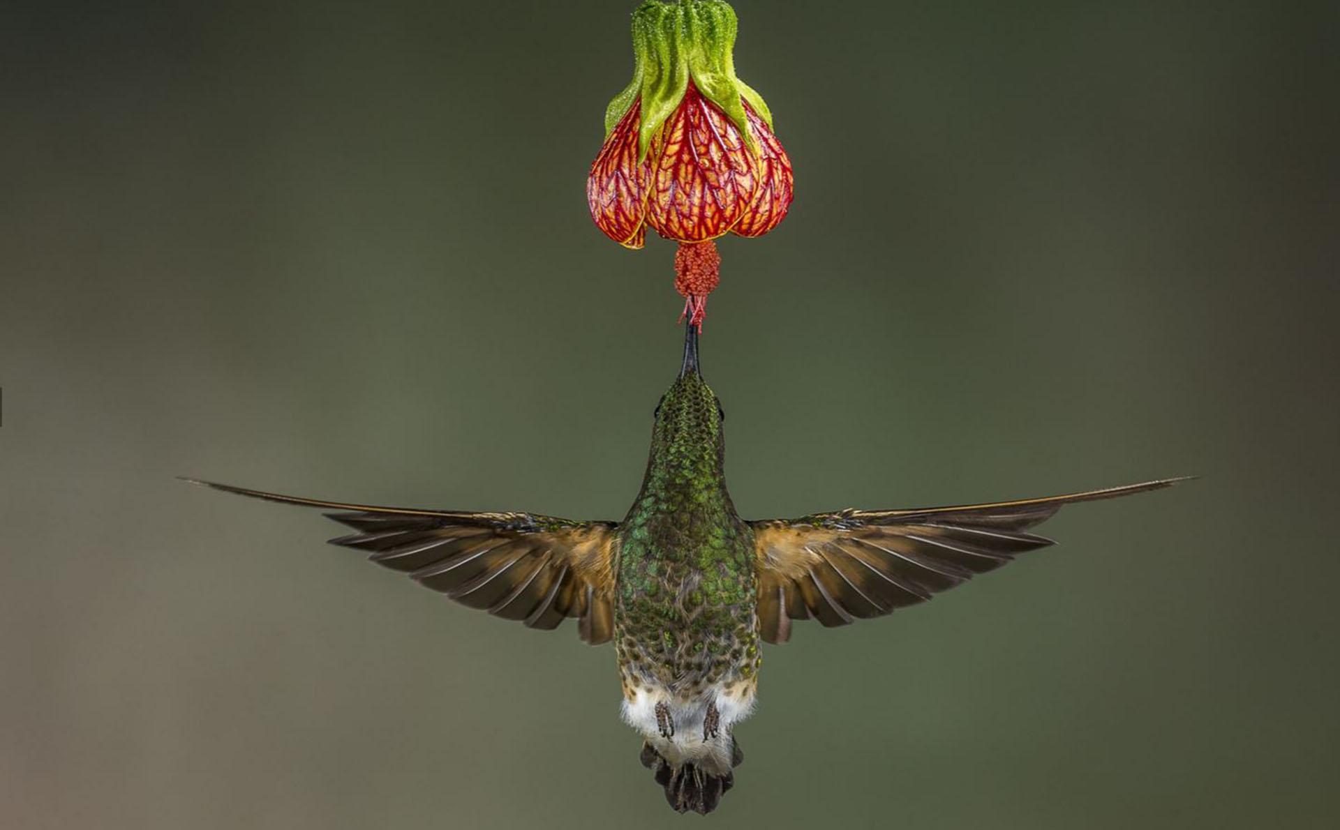 Naturaleza – Voto popular. Un colibrí colihabano se alimenta del néctar de una flor en un bosque ecuatoriano. Por Hymakar Valluri