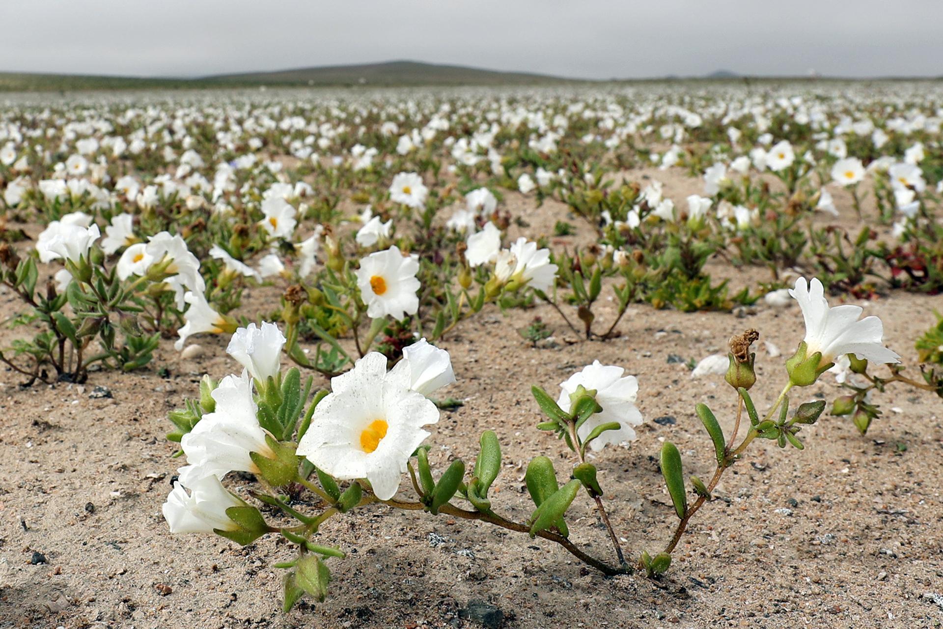 Las intensas y sorpresivas precipitaciones dieron paso al deslumbrante desierto florido en Atacama, el más árido y soleado del mundo (EFE)