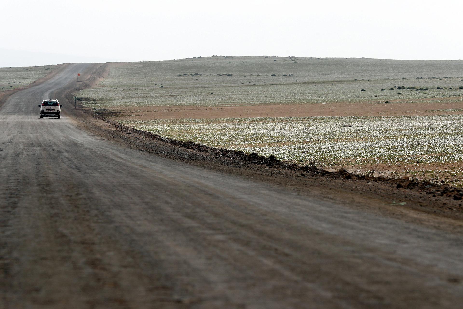 Vista del manto de flores en el desierto de Atacama el lunes 21 de agosto de 2017 (EFE)