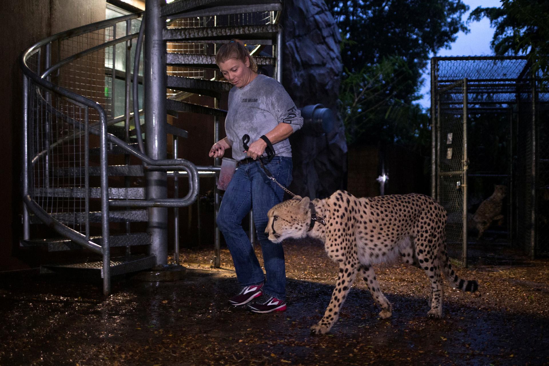 La guardameta Jennifer Nelson lleva un chita a un refugio antes de la caída del huracán Irma en el zoológico de Miami, Florida, el 9 de septiembre de 2017. (Reuters)