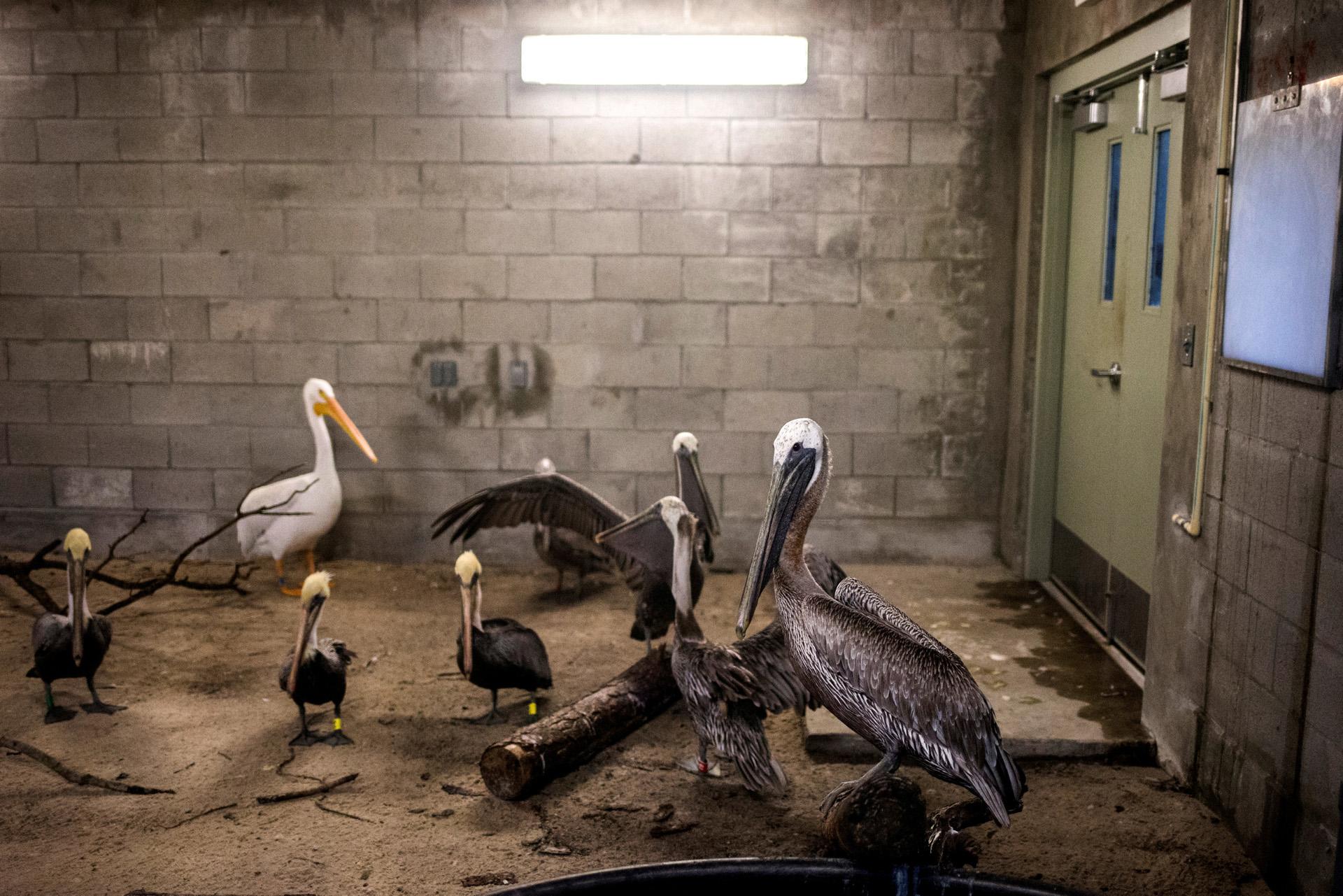 Pelícanos marrones y un pelicano blanco estadounidense se refugian en un albergue antes de la caída del huracán Irma en el zoológico de Miami, Florida. (Reuters)