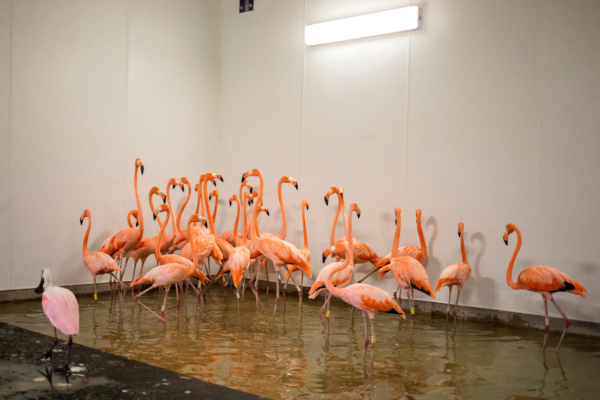 Los flamencos se refugian en un albergue antes de la caída del huracán Irma en el zoológico de Miami, Florida. (Reuters)