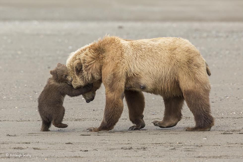 """""""Abrazo de oso"""". Parque Nacional y reserva de Lake Clark, Alaska. Un cachorro de oso pardo quiere jugar con su madre. Categoría: Young Wildlife Photographer of the Year, 11-14 años, ©Ashleigh Scully – Wildlife Photographer of the Year"""