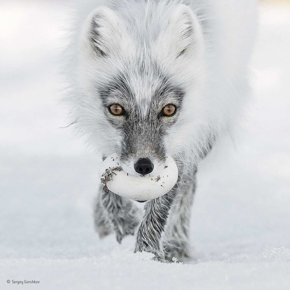 """""""Tesoro del ártico"""". Rusia, Isla de Wrangel. Un zorro ártico carga un huevo que robó del nido de un pato de las nieves. Categoría: Retratos de animales, ©Sergey Gorshkov – Wildlife Photographer of the Year"""