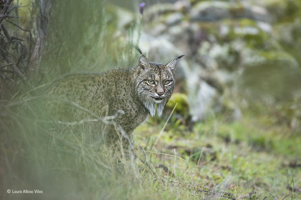 """""""Ojeada del lynx"""". Parque Natural Sierra de Andújar, España. Un lince ibérico.Categoría: Young Wildlife Photographer of the Year, 11-14 años, ©Laura Albiac Vilas – Wildlife Photographer of the Year"""