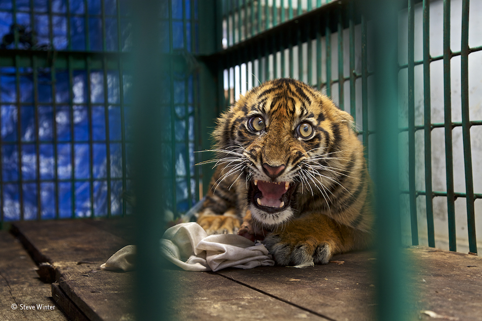"""""""Salvado, pero enjaulado"""". Aceh, Sumatra, Indonesia. Zoológico de Javan. Muestra a un tigre de seis meses al que le fue cortada unapata posterior después de haber quedado atrapado en una trampa. Categoría: Única imagen, ©Steve Winter – Wildlife Photographer of the Year"""
