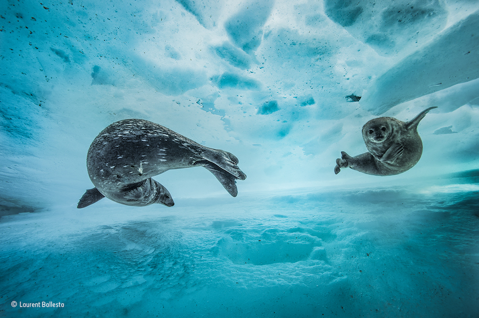 """Gimnasio acuático"" . Antártida. Una foca de Weddell y su cría. Categoría: Comportamiento, mamíferos, ©Laurent Ballesta – Wildlife Photographer of the Year"