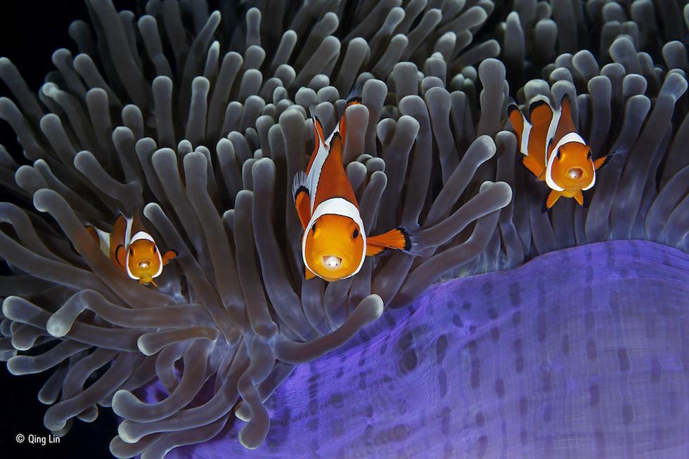 """""""Los infiltrados"""". Estrecho de Lembeh, Sulawesi Septentrional, Indonesia. Tres peces payaso con un parásito en sus bocas. Categoría: Bajo el agua, ©Qing Lin – Wildlife Photographer of the Year"""
