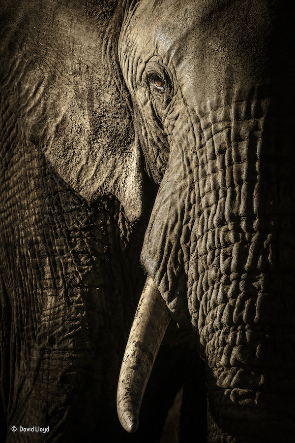 """El poder de la matriarca"". Masai Mara, Kenia. Una hembra de elefante al atardecer. Categoría: Retratos de animales, ©David Lloyd – Wildlife Photographer of the Year"