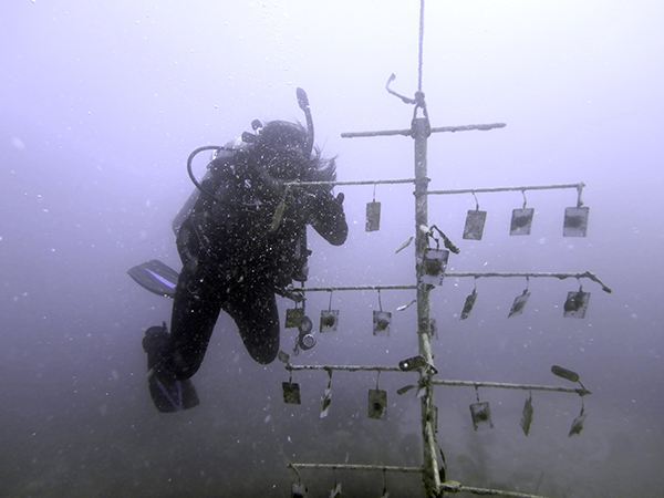 Valeria Paz, estudiante de posgrado de Biología de FIU, investiga en unade las estructuras de restauración de corales que la universidad crea con la NASA. (Foto de FIU)
